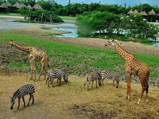 Zebra and Giraffe at Safari World in Bangkok, Thailand