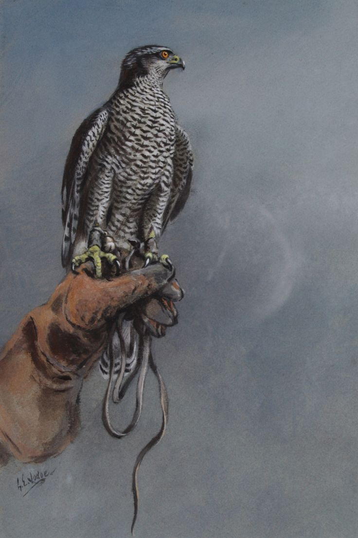 83 best falconry image...