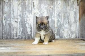 Get your own pet at your home pomsky dog for sale here with pomsky puppies also pomsky pups are available, full grown pumsky ready for adoption, breeder option available buy now your pomsky with attractive sales price.