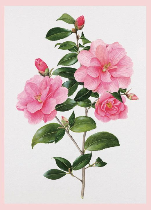 Beautiful rose by Evelyn Binns. The royal family are among the many that collect her beautiful renderings.