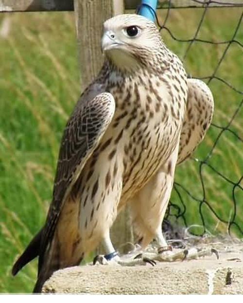 Different Types Hawk Birds | Latifa Ebrahim BD4: Types of hawks