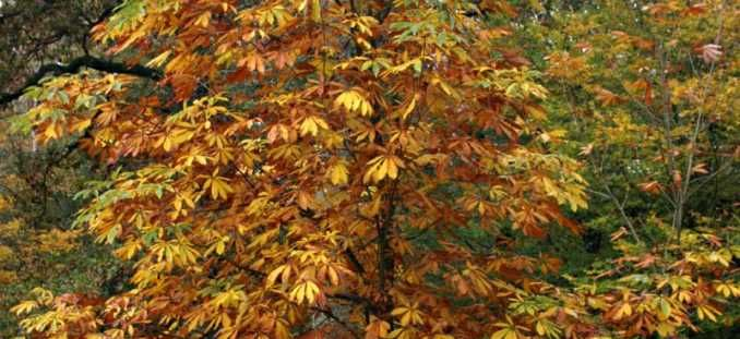 Indian horse chestnut  http://www.barcham.co.uk/trees-for-sale/buy-aesculus-indica-aesculus-indica-indian-horse-chestnut
