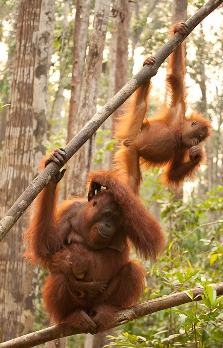 All mothers get to that stage of pulling their hair out by the handful.......Wild Orang Utan in Kalimantan