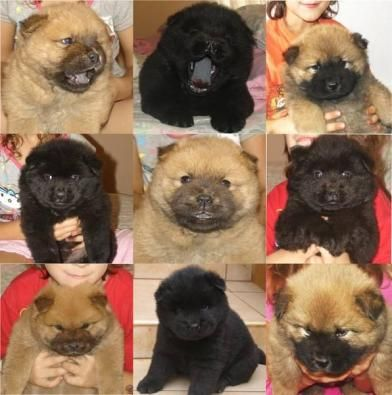 Chow Chow Puppies -- I'll take one of each please!