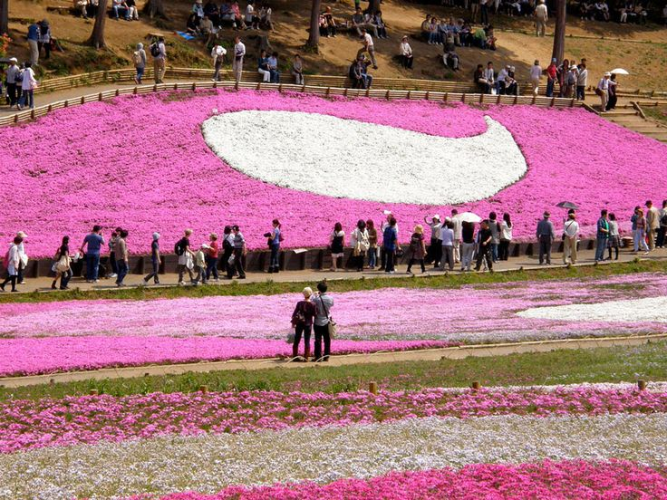 Giappone, Fuji Shibazakura Festival