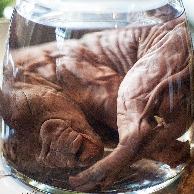 Mejores 16 imágenes de Fetal Pigs en Pinterest | Cerdos, Cerditos y ...