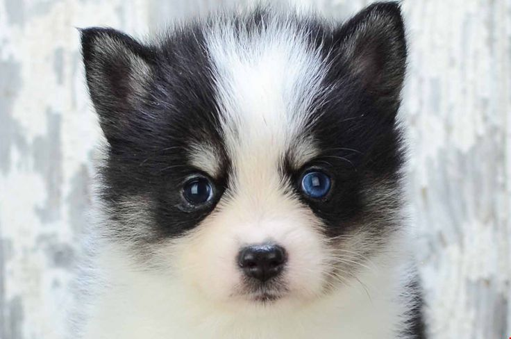 Droll Puppies For Sale Cheap in 2020 Pomsky puppies