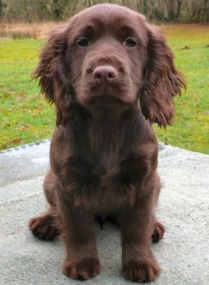 A working cocker spaniel called Toby to keep jack company