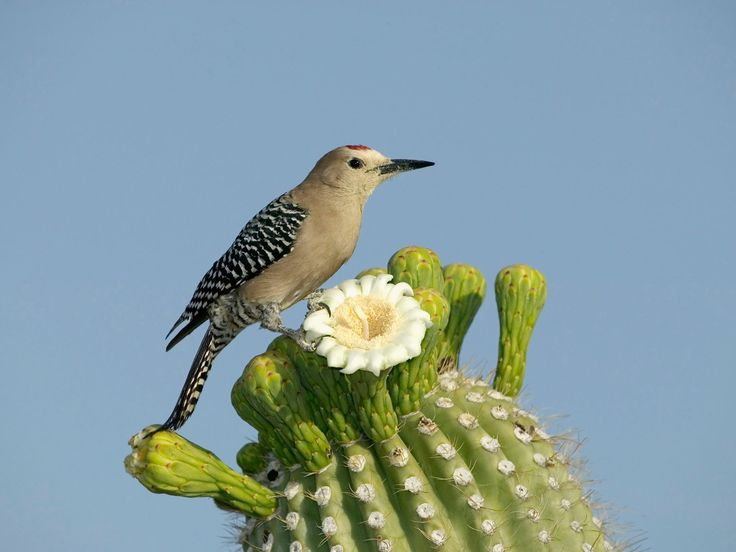 great pict with state bird state flower and state tree of baja arizona in one place pinterest woodpe