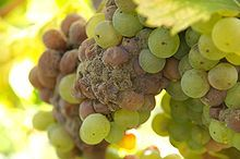 Vouvray (wine) - the Great Chenin Blanc Wine, Wikipedia, the free encyclopedia