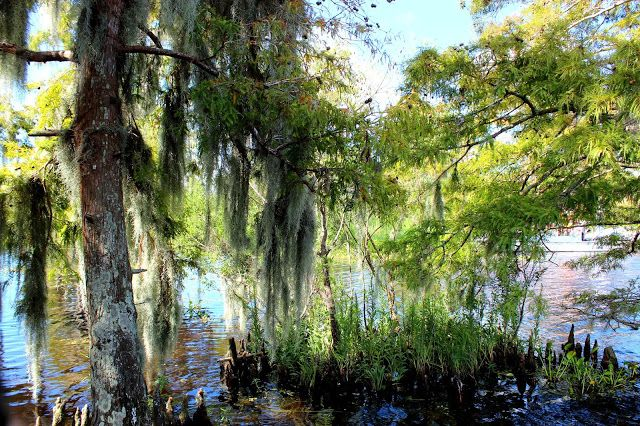 Spanish moss See ya later aligator Airboat adventures, Lafitte swamp Louisiana