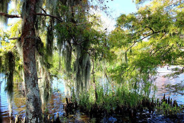 Spanish moss See ya later aligator Airboat adventures, Lafitte swamp Louisiana