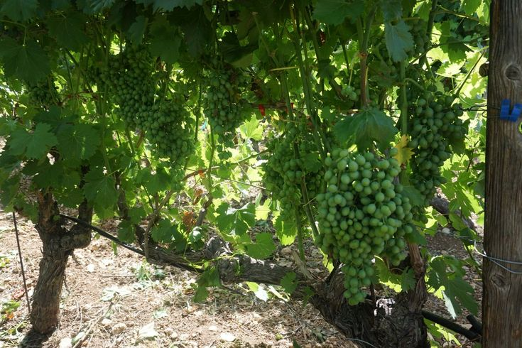TUI: Sustainable Wines on Crete Ready for Tasting in Summer 2018
