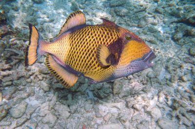 Dangerous Fish and Sea Animals: 9. Triggerfish - Dangerous