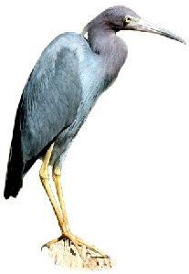 Garça Azul (Egretta caerulea)