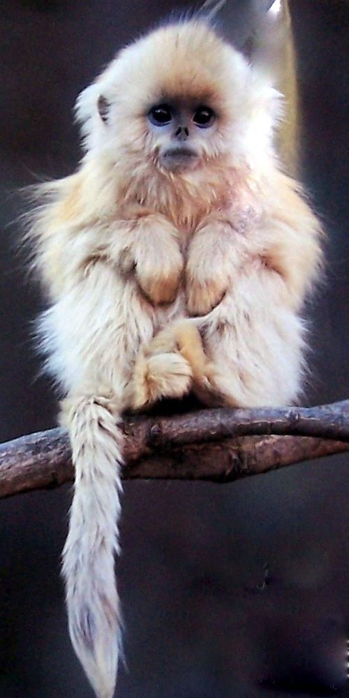 Chinese Golden Snub Nosed  Monkey.  Isn't he just adorable?  He is not yet 2.