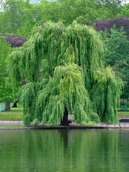 Salix babylonica / Sauce Llorón   Weeping Willow; Napoleon's Willow; Babylonian Willow. Este es uno de mis favoritos.