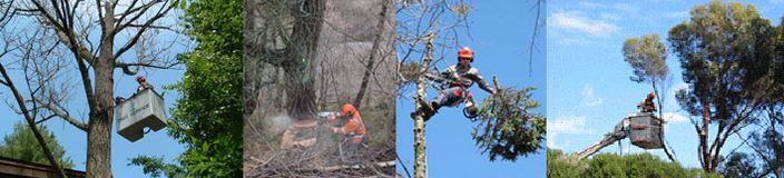 A Cut Above Tree Service is a specialist in tree removal in Perth. By knowing our business, you may want to give us a look of disgust, but let us make it clear that we do the law-abiding tree removal job to remove the diseased, broken or dead trees that have turned dangerous for people or properties around them. We are, in a way, here to help you stay safe. Apart from tree removal, we give the best tree care solutions too. Entrust us with your needs for expert tree pruning in Perth.