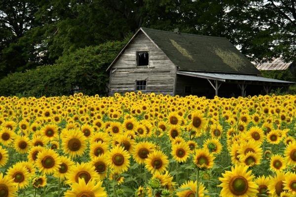 : Rapese, Favorite Things, Beautiful, Field Of Sunflowers, Art Prints, Sunflower Fields, Sunflowers Fields, Fields Of Sunflowers, Old Barns
