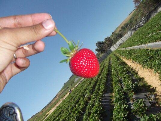 Strawberry farm 2