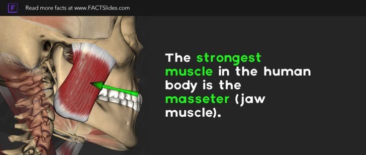 the strongest muscle in the human body is the masseter (jaw muscle, Human Body