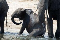 TWA-0053757 © WestPix A baby elephant in Chobe National Park, Botswana. Picture…
