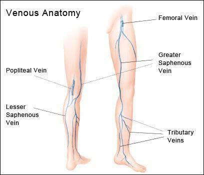 short saphenous vein anatomy - Google Search