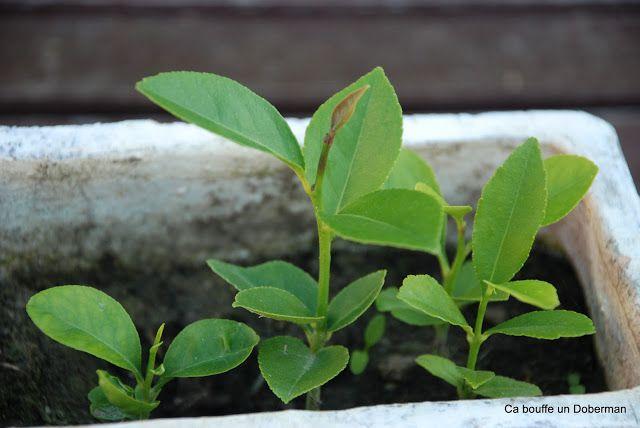 Les 25 meilleures id es concernant planter des graines de - Planter pepin citron ...