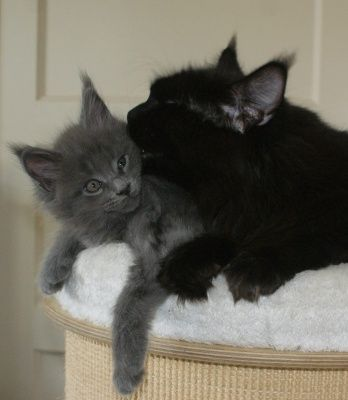 Maine Coon, Kitten cuteness overload. Mo & Co's Wood Light Blue with mum Escape's Shania Twain. Photo by cattery #MoandCo.