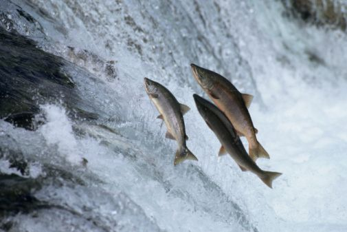 Types of Salmon - Guide to Pacific Salmon Species