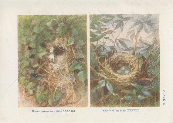 1906 Antique Tiny Birds Nest Print 2 Egg by MarcadeVintagePrints
