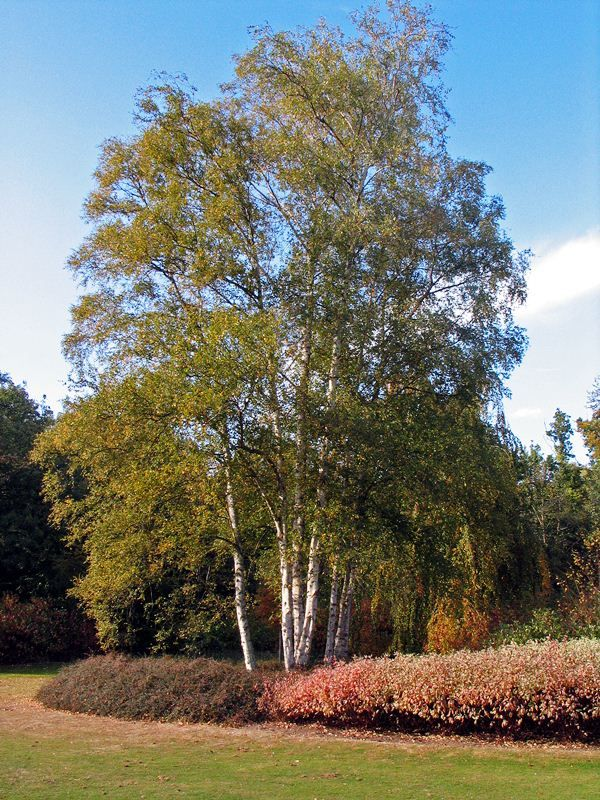 Silver Birch - Barcham Trees Betula pendula