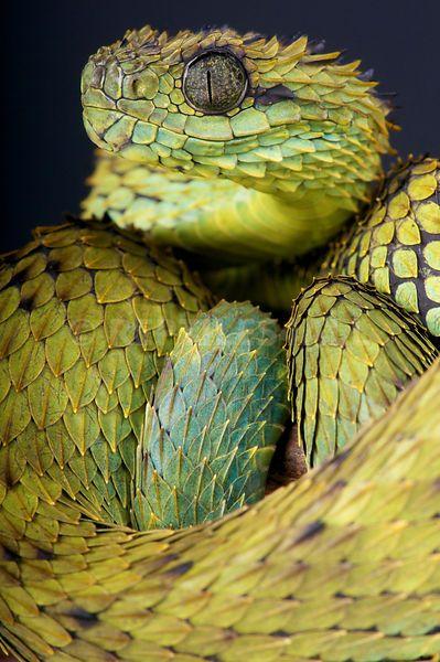 Atheris hispida, Hairy bush viper, DR Congo