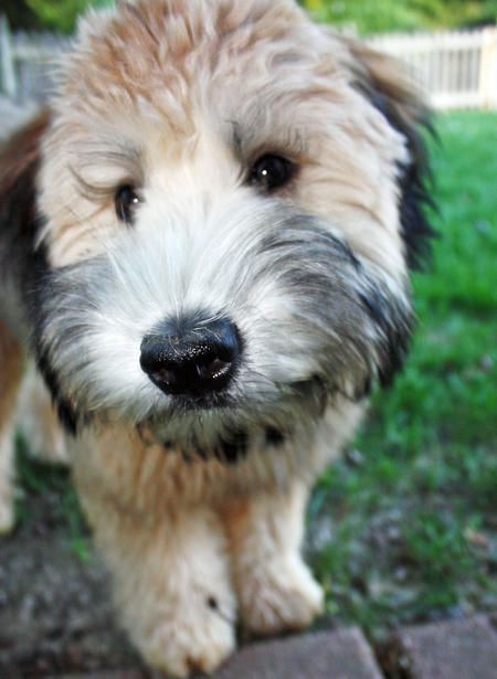 The wheaten of the day. So cute.