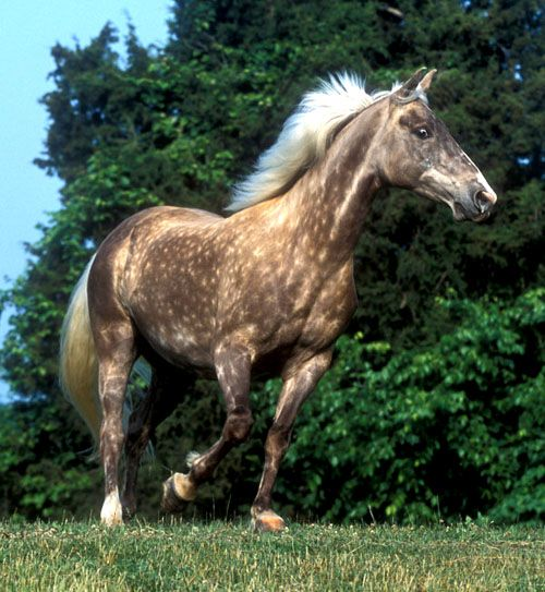 A silver colored Rocky Mountain horse