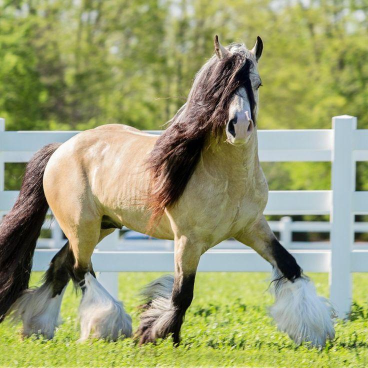 Segway - Buckskin Gypsy Vanner Stallion out of Taskin #GypsyVannerHorses