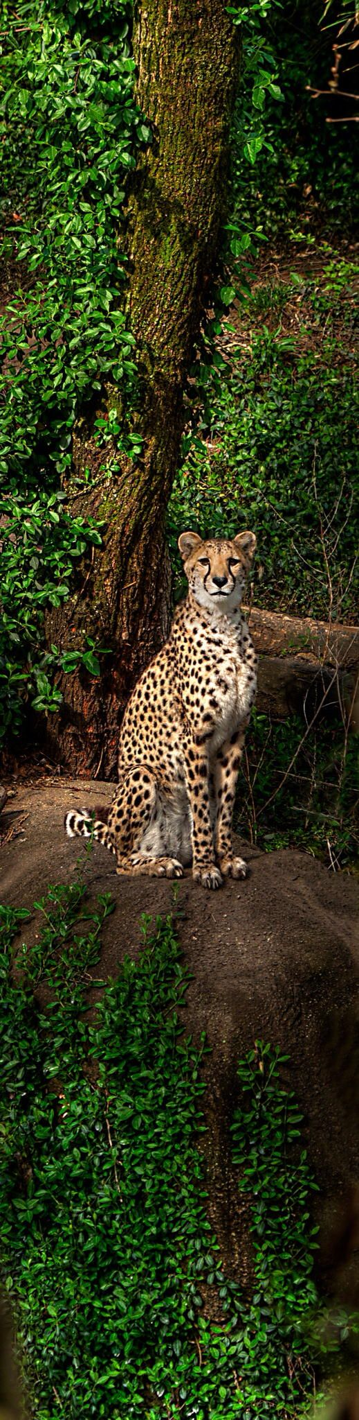 Cheetah stare off  dont u wish u could just walk up to this and love and pet like a house cat