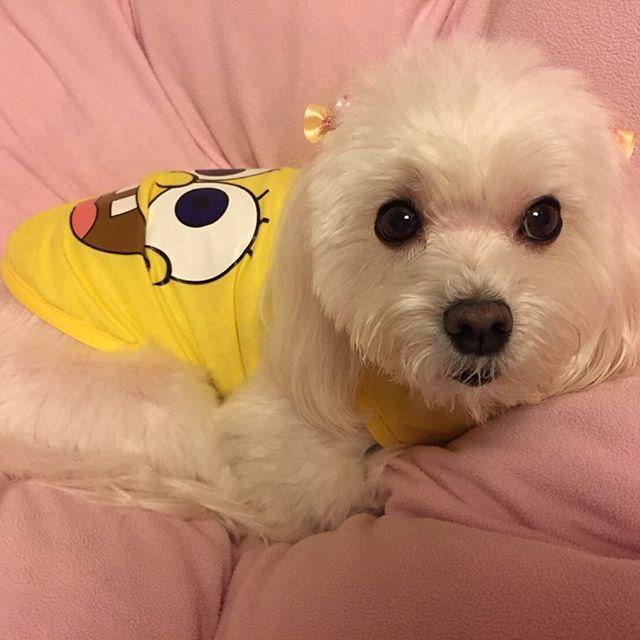 #トリミング した。 #スポンジボブ 可愛い❤️ #わんこ #マルチーズ #愛犬 #アジソン病 #白い犬 #小型犬 #かわいい #ふわふわ #ペット #まる #お洋服  #難病