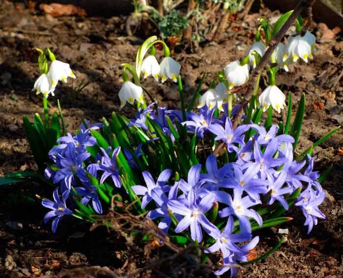 Хионодокса, посадка и уход. Хионодокса, особенности посадки и ухода. Миниатюрная и нежная хионодокса - желанное растение-первоцвет для любого сада!