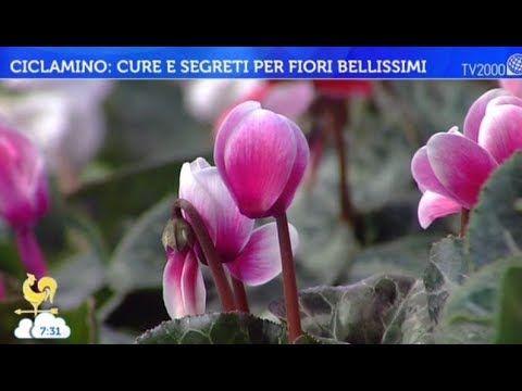 Ciclamino: cure e segreti per fiori bellissimi - YouTube