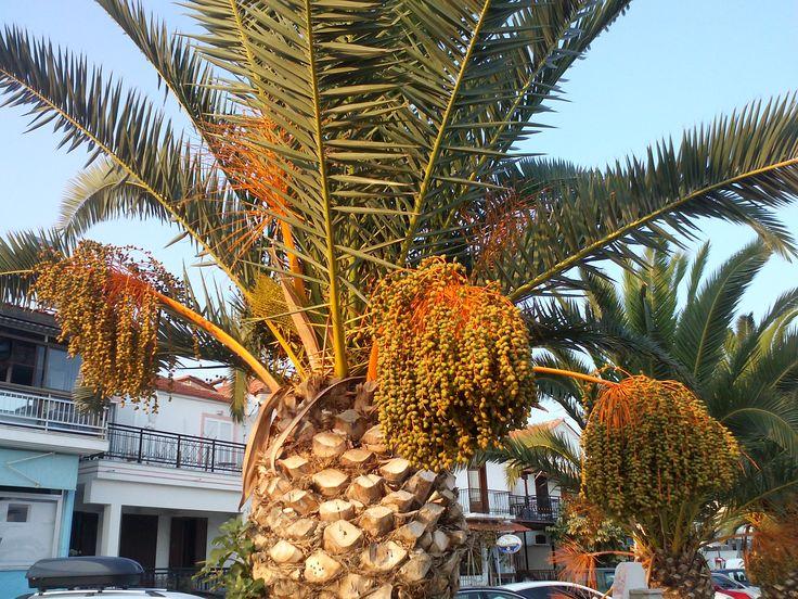 Palmier tree greece