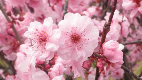 Plant guide: Cherry & Plum blossoms