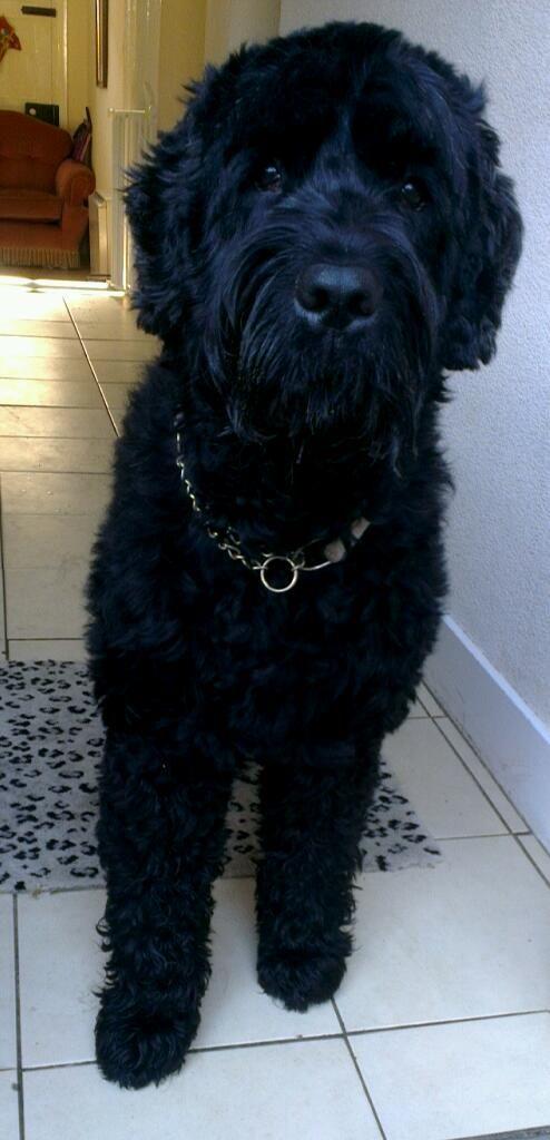Black Russian Terrier Dog | Animal Photography | Pinterest