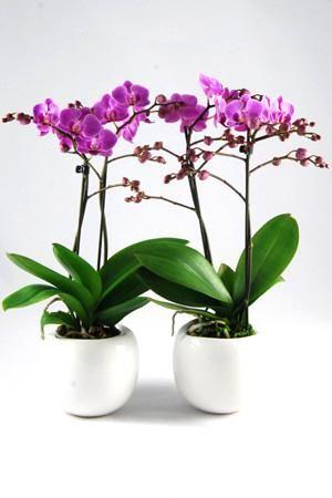 Orchidee Phalaenopsis Vienna in Bolpot wit keramiek.