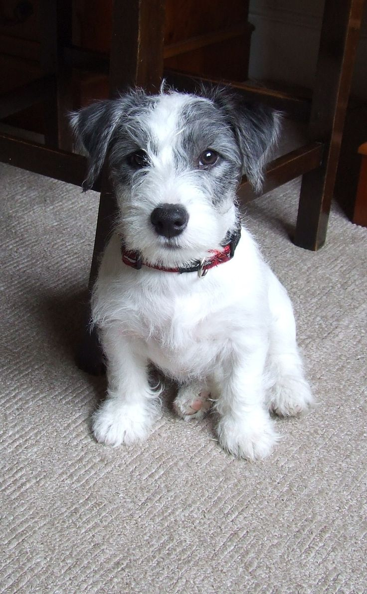 1000 images about jacks and more on pinterest jack russell terriers jack russells and parson. Black Bedroom Furniture Sets. Home Design Ideas