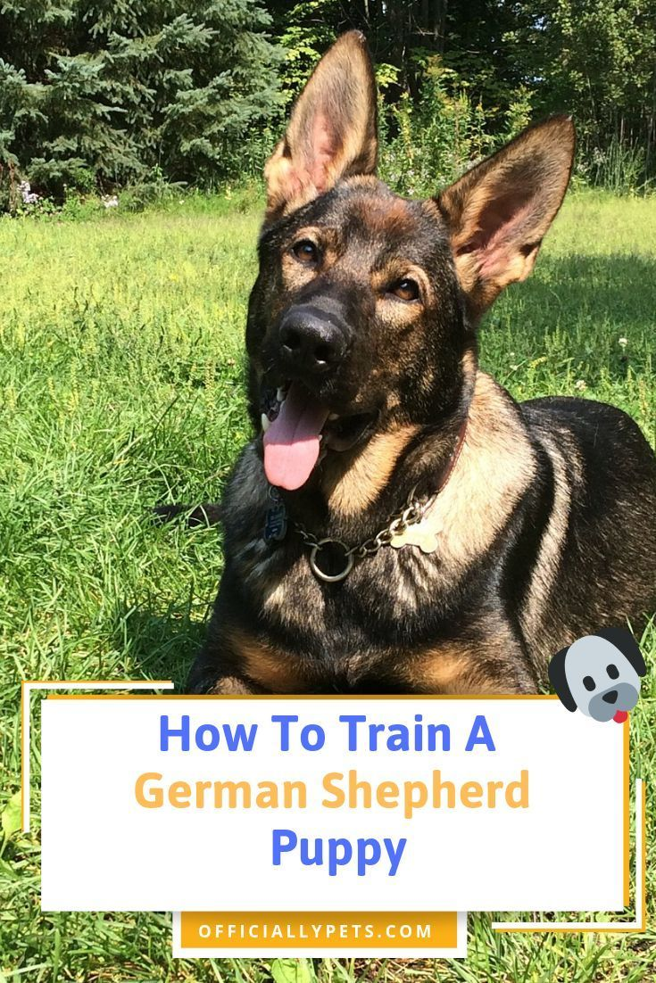 How To Train A German Shepherd Puppy Just Got Your New German Shepherd Puppy And Are Ready To Train The German Shepherd Puppies Shepherd Puppies Dog Training