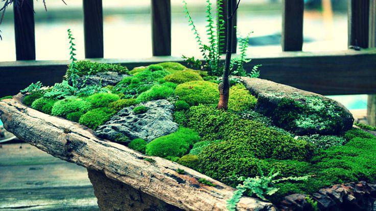 Begini cara menanam lumut pada pot bunga dan tanaman bonsai, pada permukaan halaman, serta merawat tanaman lumut agar subur.