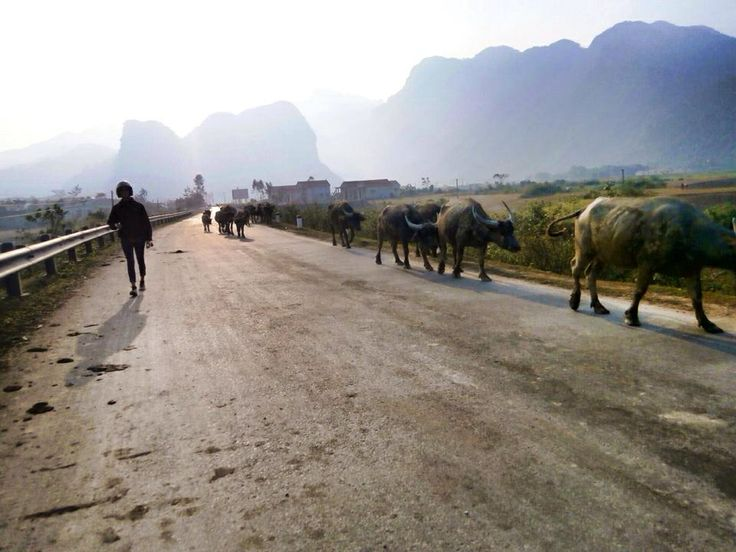 Apart of the buffalo herd - Vietnam
