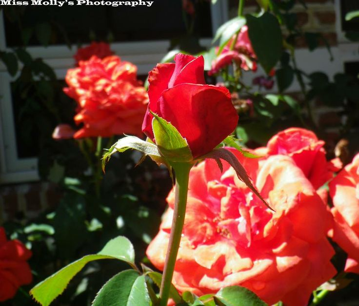 #red #rose still in its process of blooming #flowers #flowering #autumn #roses #photography