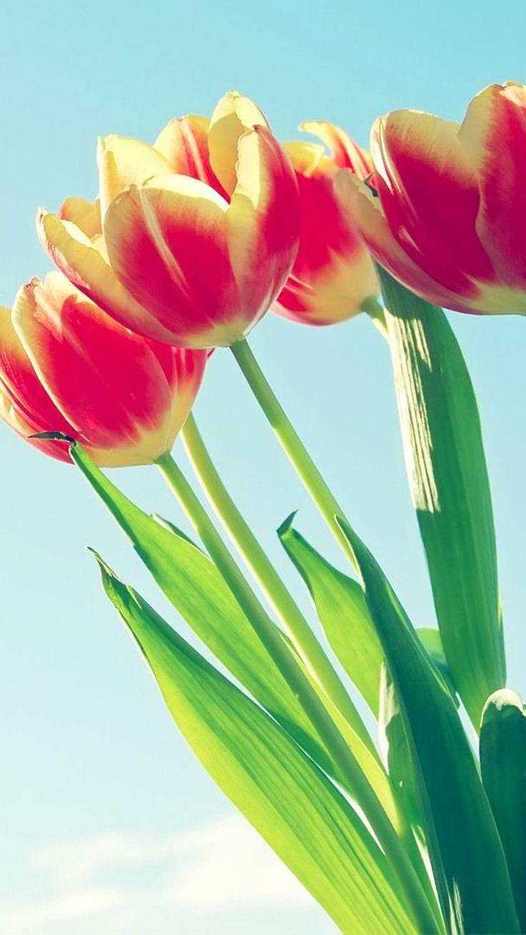 Tulip Bunch Macro iPhone 6 wallpaper